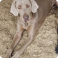 Adopt A Pet :: Stoney - Palo Alto, CA