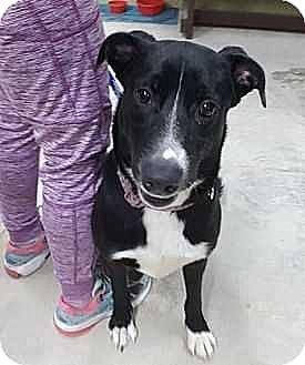 Labrador Retriever/Border Collie Mix Dog for adoption in Washington, D.C. - Harley (Needs Foster)