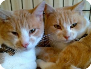 American Shorthair Cat for adoption in San Luis Obispo, California - Scooter N Chance
