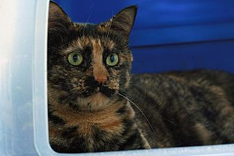 Domestic Shorthair Cat for adoption in St. Louis, Missouri - Margeurita