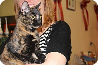 American Shorthair Cat for adoption in North Haledon, New Jersey - Autumn
