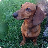 Adopt A Pet :: Ginger - Louisville, CO