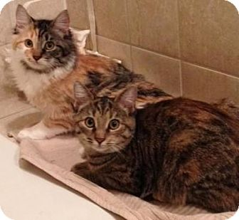 Domestic Mediumhair Kitten for adoption in Raritan, New Jersey - Lola & Lily
