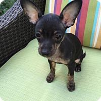 Adopt A Pet :: Tootie - Encino, CA