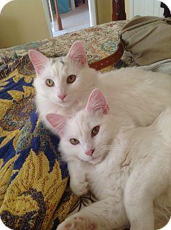 Domestic Mediumhair Cat for adoption in Bear, Delaware - Piper and Luna