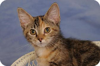 Domestic Shorthair Kitten for adoption in mishawaka, Indiana - Jackie