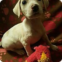 Adopt A Pet :: Lab x girl - Pompton Lakes, NJ