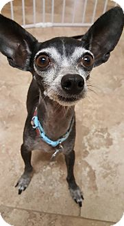 Chihuahua Mix Dog for adoption in Scottsdale, Arizona - Ernie