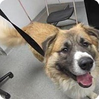 Adopt A Pet :: Moose - Lincolnton, NC