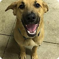 Adopt A Pet :: SEDONA-pending - Morgantown, IN
