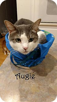 Domestic Shorthair Cat for adoption in Houston, Texas - Augie