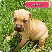 Adopt A Pet :: Lemuiex - Ft. Myers, FL