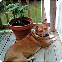 Adopt A Pet :: Dixie - Nolensville, TN