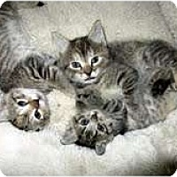 Adopt A Pet :: Kitten Cuties - Arlington, VA
