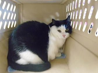 Domestic Shorthair Cat for adoption in Fresno, California - Abby Cat