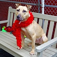 Pit Bull Terrier Mix Dog for adoption in Manhattan, New York - Magnolia