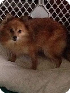 Pomeranian Dog for adoption in Butler, Ohio - Savannah(adopted)