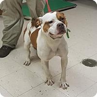 Adopt A Pet :: Bruno - benson, NC