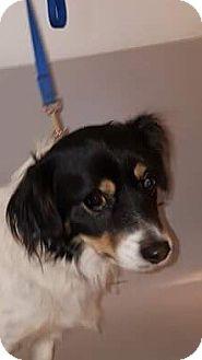 Cavalier King Charles Spaniel/Dachshund Mix Dog for adoption in Rancho Cucamonga, California - BUD