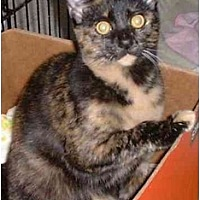 Domestic Mediumhair Cat for adoption in Stuarts Draft, Virginia - Tillie