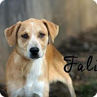 Adopt A Pet :: Faline - Joliet, IL