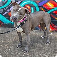 Adopt A Pet :: Jewel - Houston, TX