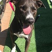 Adopt A Pet :: Haley - Santa Ana, CA