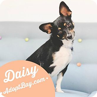 Rat Terrier/Chihuahua Mix Dog for adoption in Panama City, Florida - Daisy