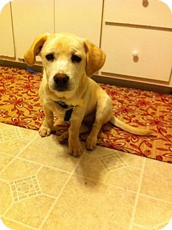 Labrador Retriever/Basset Hound Mix Dog for adoption in Alexandria, Virginia - Hailey