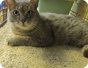 Domestic Shorthair Cat for adoption in Acme, Pennsylvania - Olivia