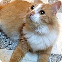 Domestic Longhair Cat for adoption in Dallas, Texas - MANGO