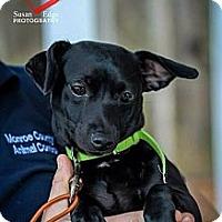 Adopt A Pet :: Sugar - Fort Valley, GA