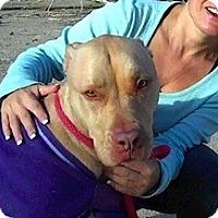 Adopt A Pet :: TAWNEY - Valley Village, CA