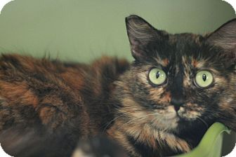 Domestic Mediumhair Cat for adoption in Canoga Park, California - Ariel