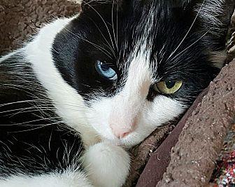 Domestic Shorthair Cat for adoption in Pasadena, California - Sasha 2