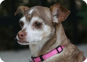 Chihuahua Mix Dog for adoption in Richardson, Texas - Teasely