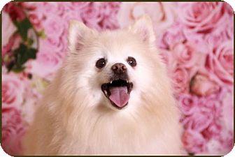 Pomeranian Dog for adoption in Dallas, Texas - Duke 2016