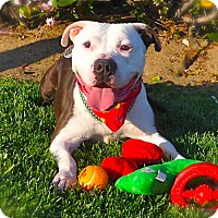 English Bulldog/American Bulldog Mix Dog for adoption in Burbank, California - Handsome Buddy