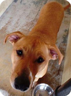 Labrador Retriever Mix Dog for adoption in Crown Point, Indiana - Sugar