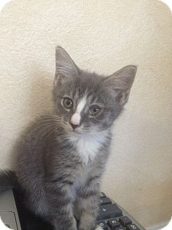 Domestic Shorthair Kitten for adoption in Tampa, Florida - Zoey