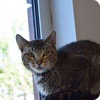Domestic Shorthair Cat for adoption in Denver, Colorado - Loki