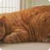 Domestic Shorthair Cat for adoption in Venice, Florida - Pumkin 4