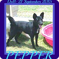 Adopt A Pet :: PEPPER - Halifax, NS