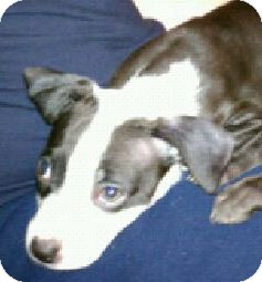 Terrier (Unknown Type, Medium) Mix Puppy for adoption in Troy, Michigan - Dixie