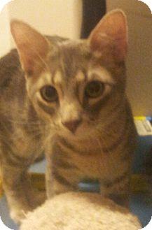 Domestic Shorthair Kitten for adoption in Chandler, Arizona - Collin