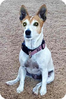 Jack Russell Terrier Dog for adoption in Phoenix, Arizona - LUCY