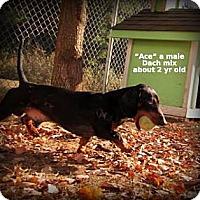 Adopt A Pet :: Ace - Gadsden, AL