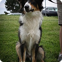 Adopt A Pet :: Sherman - Broomfield, CO