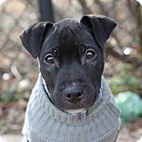Adopt A Pet :: Hill - Reisterstown, MD