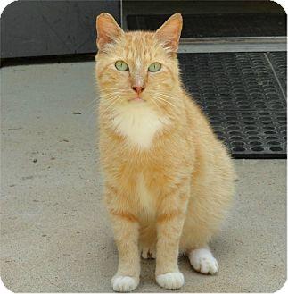 Domestic Shorthair Cat for adoption in Ozark, Alabama - Cooper